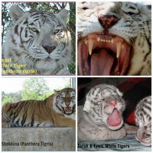Tigers at St. Augustine Wildlife Reserve