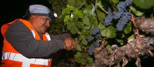 A vineyard worker at J Winery and Vineyards picks the first cluster of grapes to start the 2014 harvest season. Photo Credit www.sonoma.com