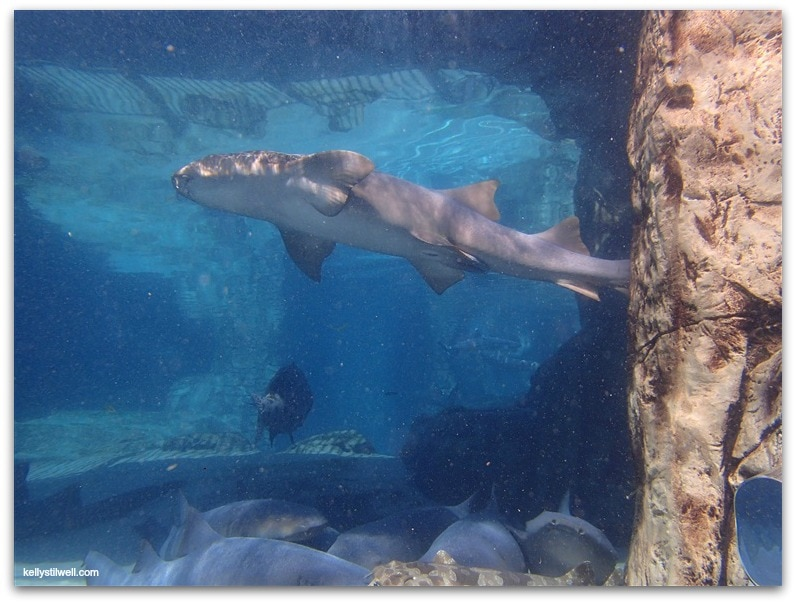 discovery cove sharks