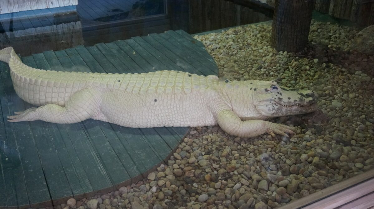 Gatorland albino alligator