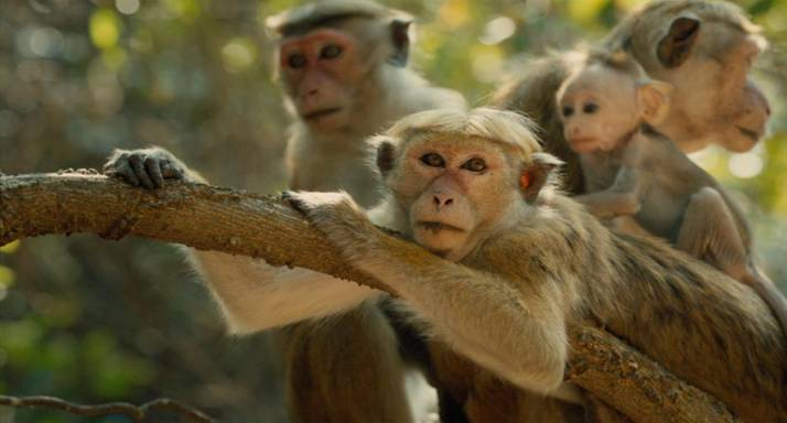 Disneynature's latest film, Monkey Kingdom, will hit theaters April 17th. I was thrilled to learn about the incredible amount of money Disney donates to conservation efforts! And each ticket purchased helps that effort!