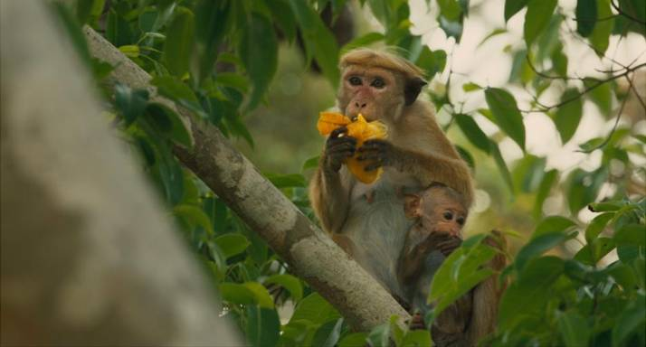 Disneynature's latest film, Monkey Kingdom, swings into theaters tomorrow!