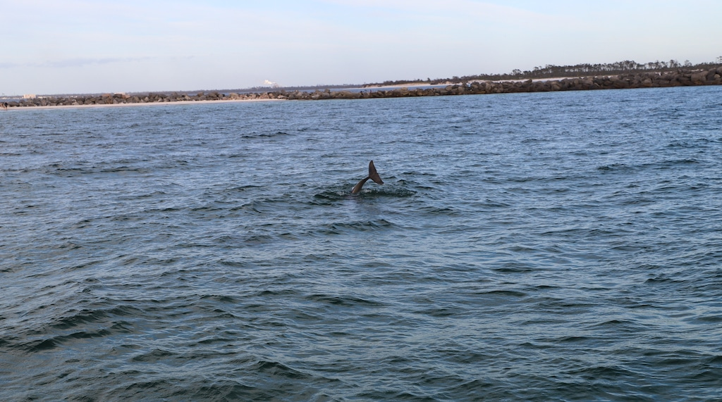 Dolphin tail coming up out of water.