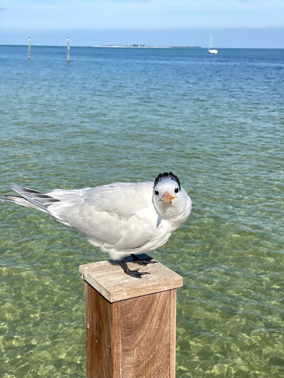Seagull Anna Maria Island Beaches